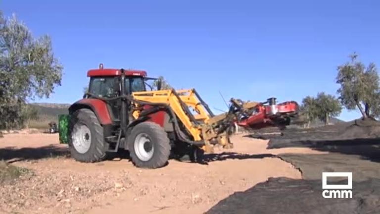 Se buscan vareadores: agricultores de Toledo necesitan mano de obra para la recogida de aceituna