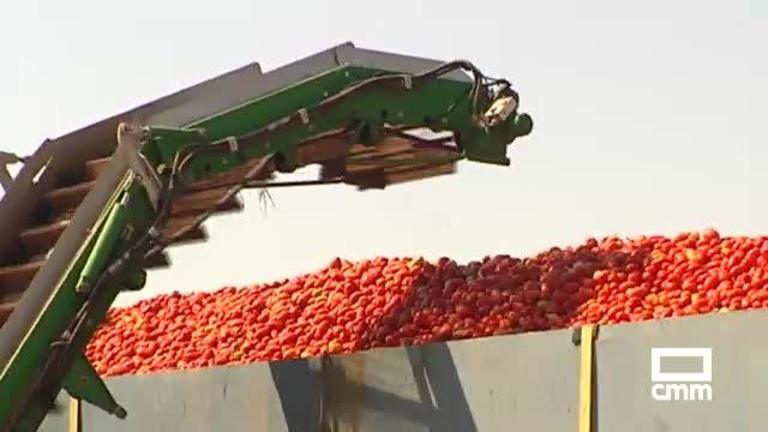 Cultivos alternativos en Castilla-la Mancha: en Tomelloso recogen tomate peralta