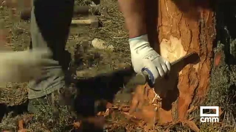 La extracción de resina, una alternativa de trabajo y futuro para pueblos como Talayuelas (Cuenca)