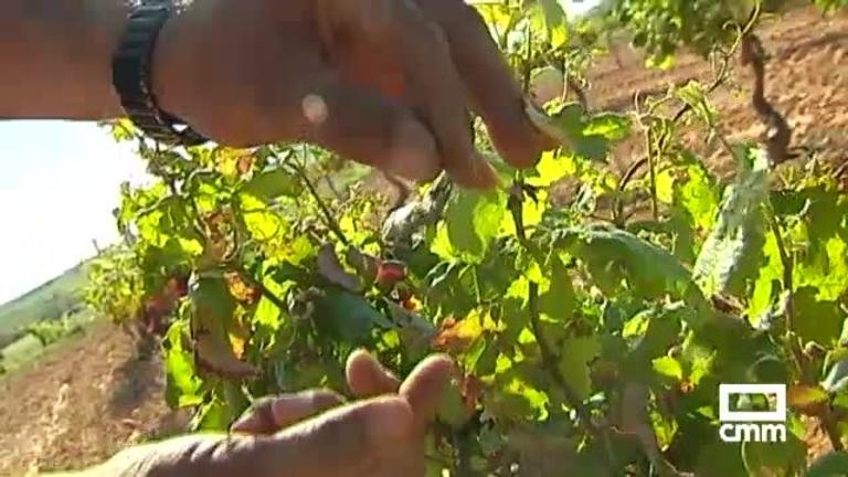 Pérdidas por el granizo de hasta el 90 por ciento en la zona de La Manchuela