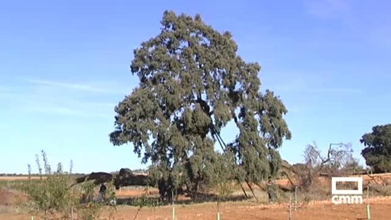 La encina Ruli, de Mota del Cuervo, declarada árbol singular por su interés cultural