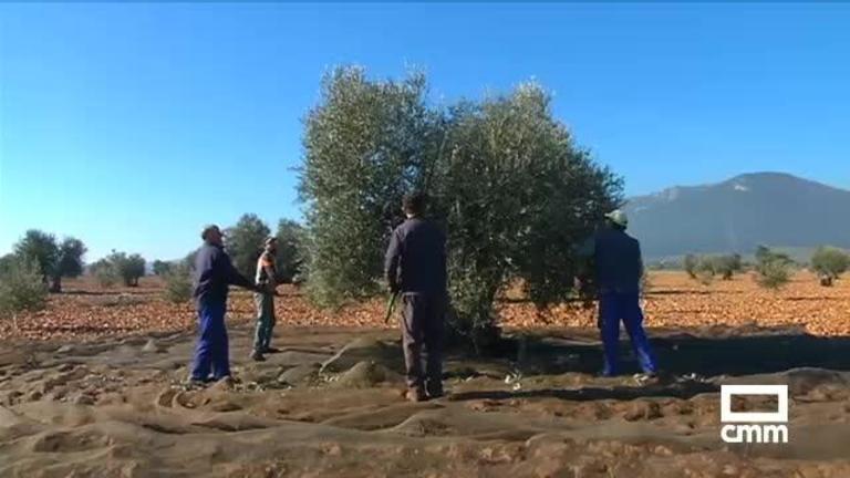 Se busca mano de obra para recoger la aceituna en Castilla-La Mancha