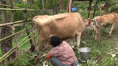 Milking a Cow