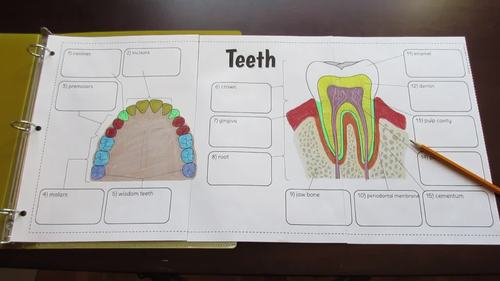 Teeth Foldable - Big Foldable for Interactive Notebooks or Binders