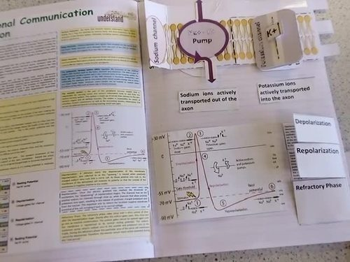 Biology Nervous System & Muscle Contraction Interactive Notebook / Foldable