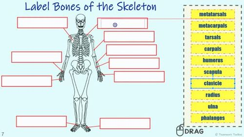 THE SKELETAL SYSTEM ~ ANATOMY ~Digital Resource for Google Classroom~