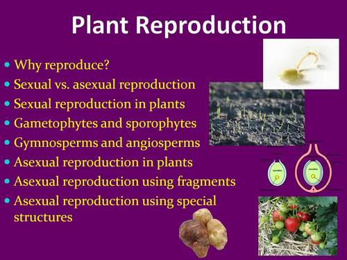 Gymnosperms asexual reproduction examples