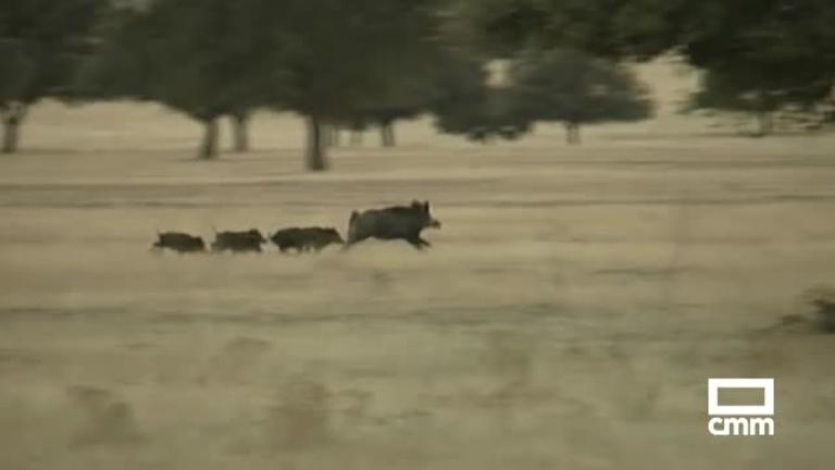Peste porcina: crean un mapa para frenar que se propague a través del jabalí