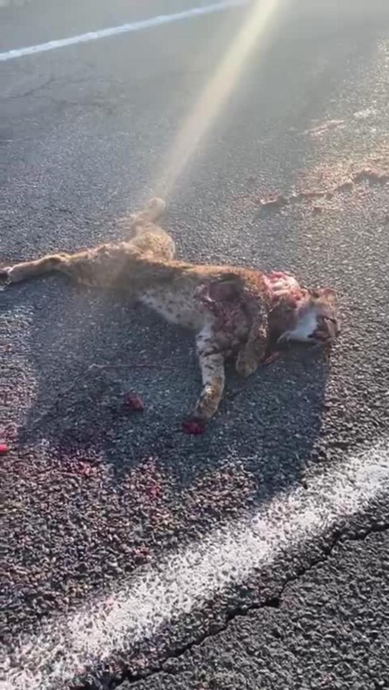 Atropellado un lince ibérico, sin collar de seguimiento, en una carretera de Ciudad Real