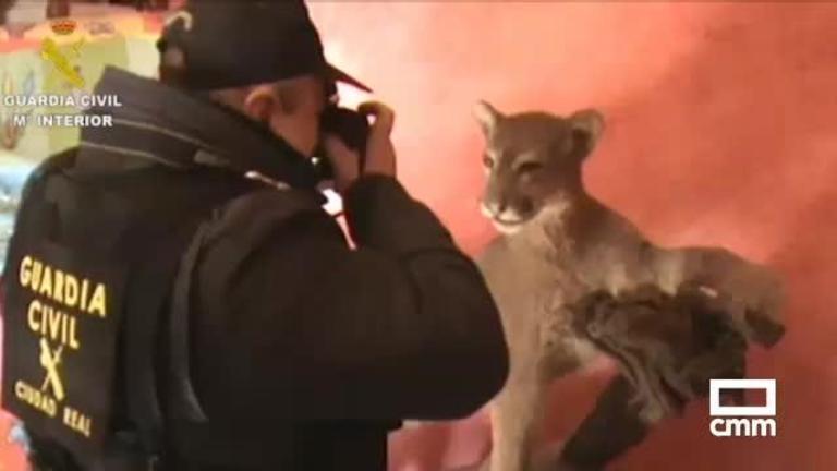 Una pantera y un puma disecados, intervenidos a dos hombres, uno de Ciudad Real