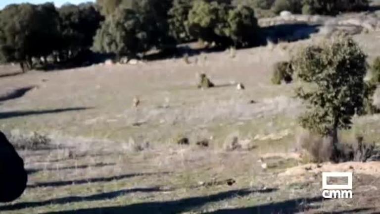 Dos linces más en Castilla-La Mancha: Ocidente y Osga