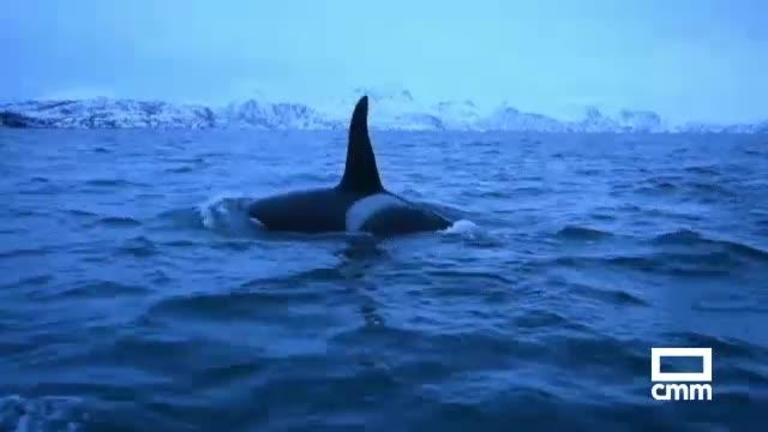 Las orcas son delfines, no ballenas