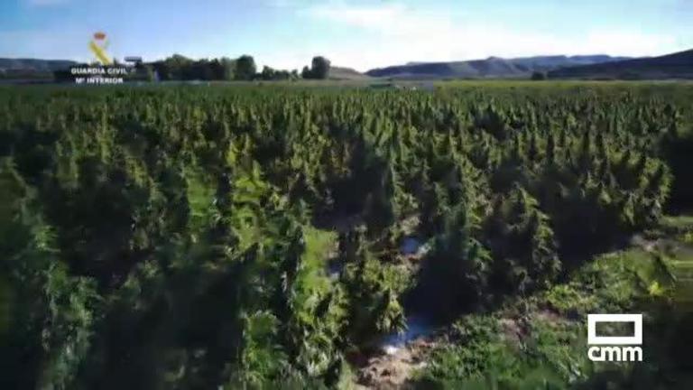 Intervienen en Toledo 135.000 plantas de marihuana en un macrocultivo, la mayor cantidad en Europa